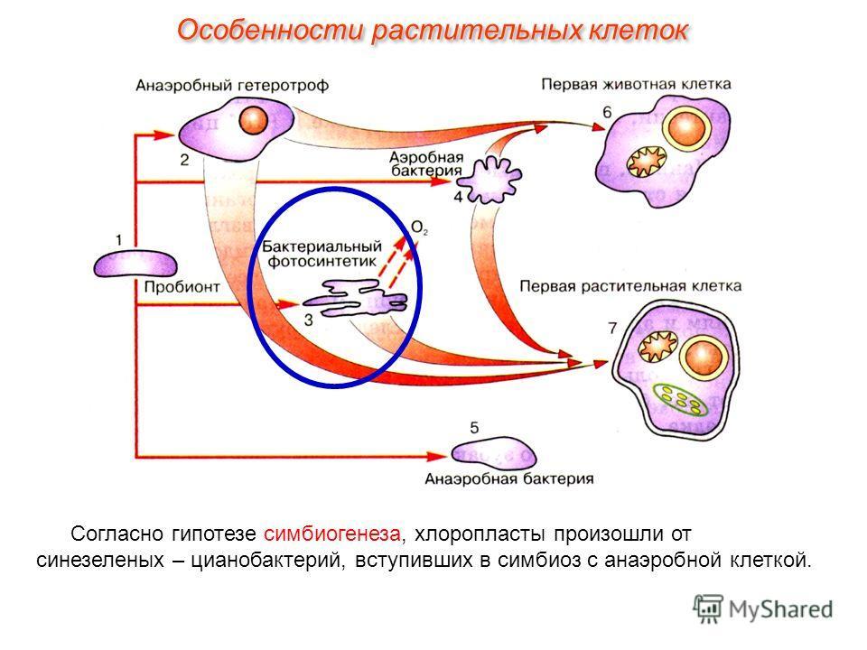 Согласно гипотезе симбиогенеза, хлоропласты произошли от синезеленых – цианобактерий, вступивших в симбиоз с анаэробной клеткой. Особенности растительных клеток