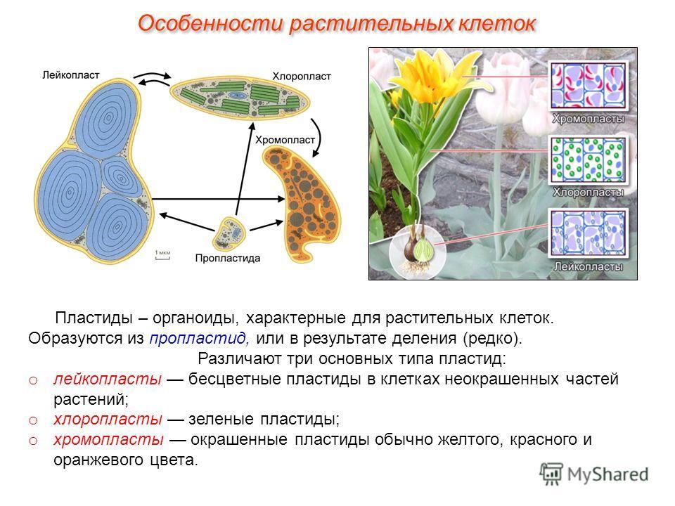 Пластиды – органоиды, характерные для растительных клеток. Образуются из пропластид, или в результате деления (редко). Различают три основных типа пластид: o лейкопласты бесцветные пластиды в клетках неокрашенных частей растений; o хлоропласты зелены