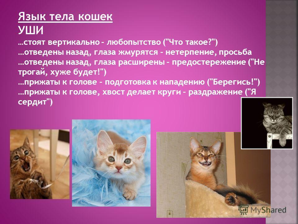 Язык тела кошек УШИ … стоят вертикально - любопытство (
