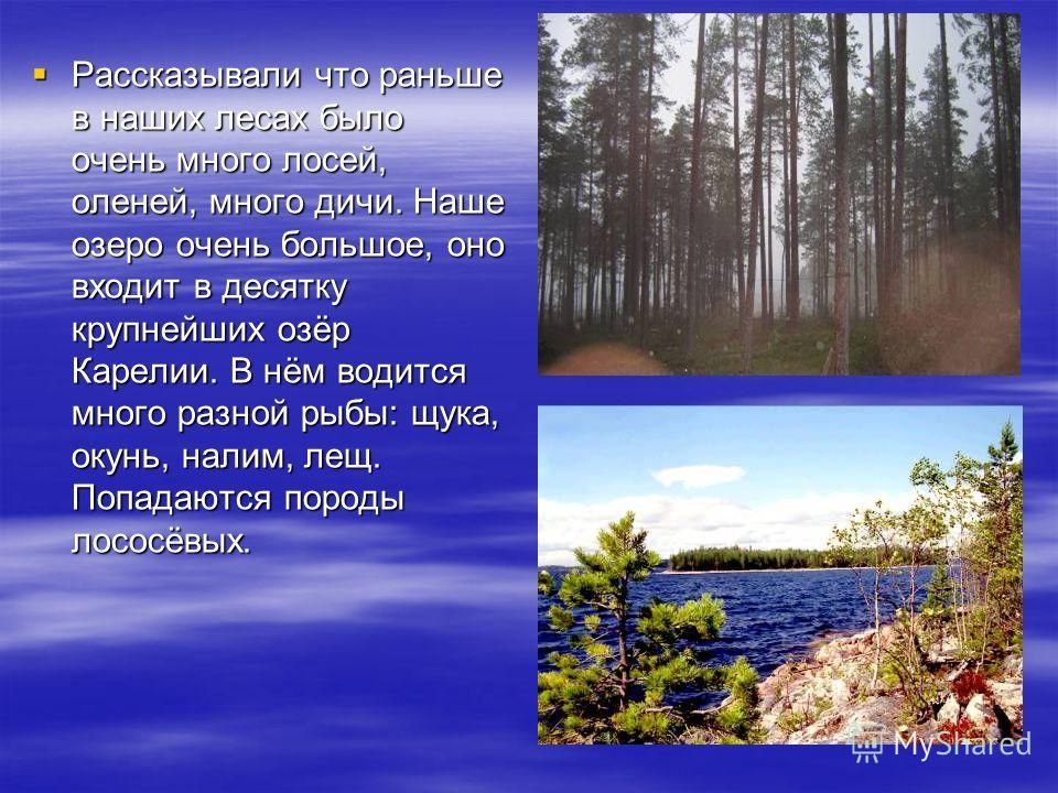 Рассказывали что раньше в наших лесах было очень много лосей, оленей, много дичи. Наше озеро очень большое, оно входит в десятку крупнейших озёр Карелии. В нём водится много разной рыбы: щука, окунь, налим, лещ. Попадаются породы лососёвых.