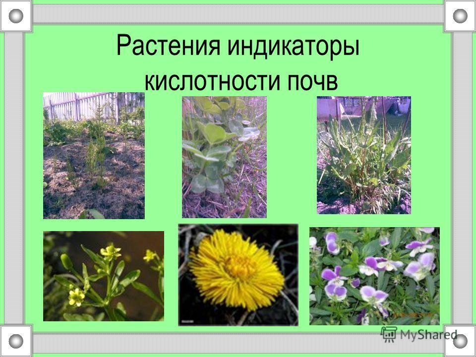 Растения индикаторы кислотности почв