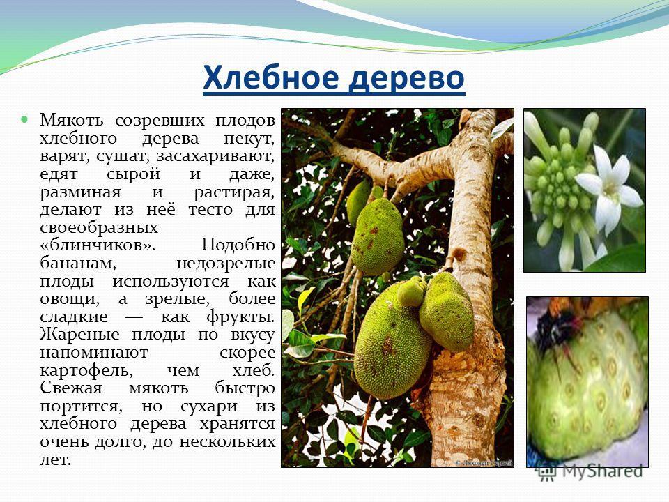 Хлебное дерево Мякоть созревших плодов хлебного дерева пекут, варят, сушат, засахаривают, едят сырой и даже, разминая и растирая, делают из неё тесто для своеобразных «блинчиков». Подобно бананам, недозрелые плоды используются как овощи, а зрелые, бо