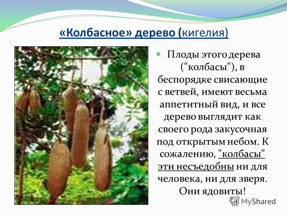 «Колбасное» дерево (кигелия) Плоды этого дерева (