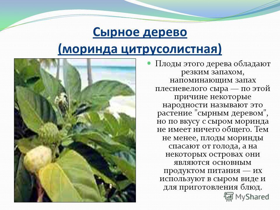 Сырное дерево (моринда цитрусолистная) Плоды этого дерева обладают резким запахом, напоминающим запах плесневелого сыра по этой причине некоторые народности называют это растение