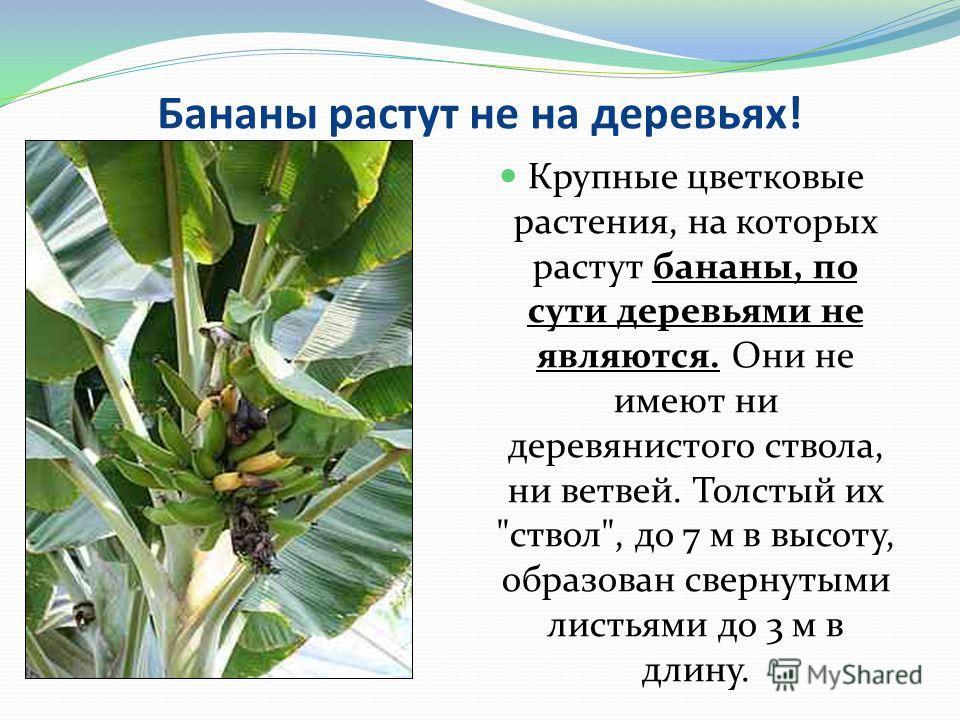 Бананы растут не на деревьях! Крупные цветковые растения, на которых растут бананы, по сути деревьями не являются. Они не имеют ни деревянистого ствола, ни ветвей. Толстый их ствол, до 7 м в высоту, образован свернутыми листьями до 3 м в длину.