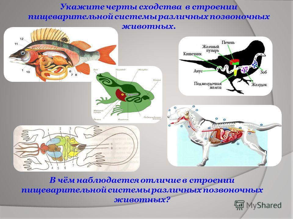 В чём наблюдается отличие в строении пищеварительной системы различных позвоночных животных? Укажите черты сходства в строении пищеварительной системы различных позвоночных животных.