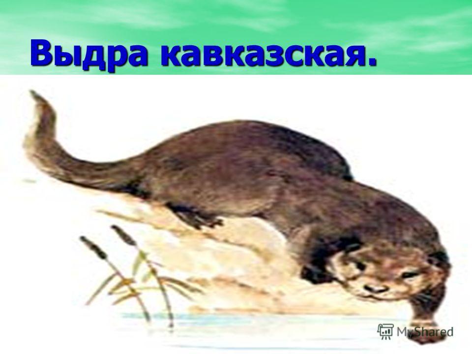 Выдра кавказская.