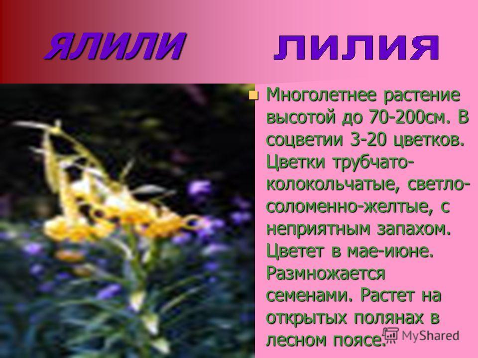 ЯЛИЛИ Многолетнее растение высотой до 70-200см. В соцветии 3-20 цветков. Цветки трубчато- колокольчатые, светло- соломенно-желтые, с неприятным запахом. Цветет в мае-июне. Размножается семенами. Растет на открытых полянах в лесном поясе. Многолетнее
