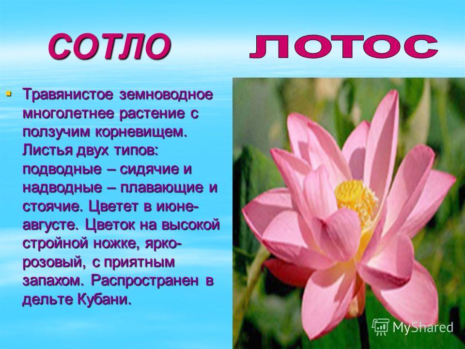 СОТЛО СОТЛО Травянистое земноводное многолетнее растение с ползучим корневищем. Листья двух типов: подводные – сидячие и надводные – плавающие и стоячие. Цветет в июне- августе. Цветок на высокой стройной ножке, ярко- розовый, с приятным запахом. Рас
