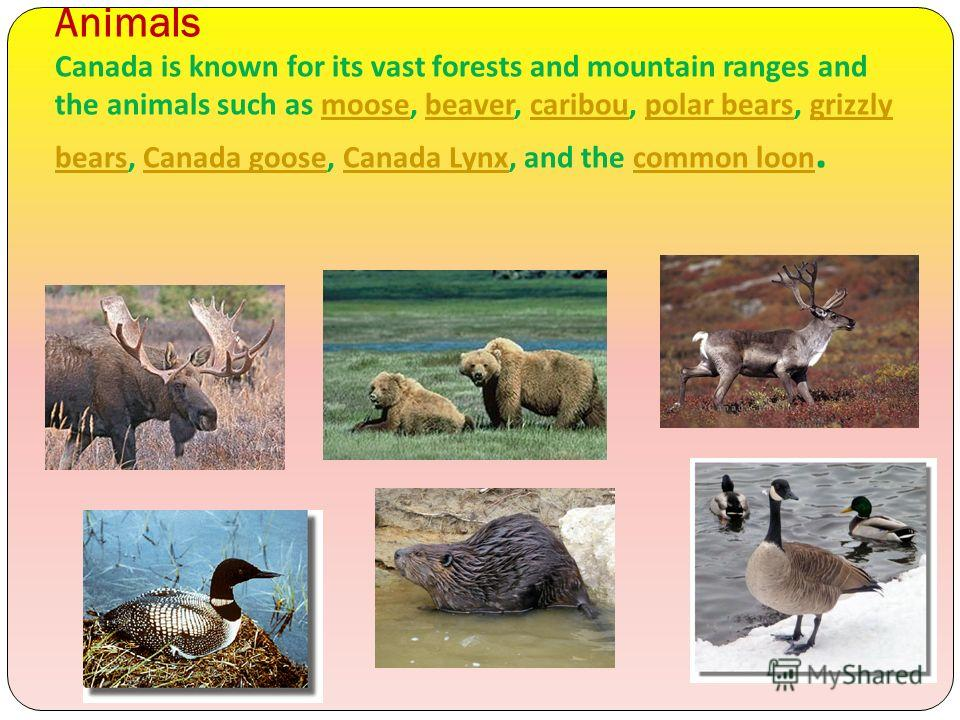 Animals Canada is known for its vast forests and mountain ranges and the animals such as moose, beaver, caribou, polar bears, grizzly bears, Canada goose, Canada Lynx, and the common loon.moosebeavercariboupolar bearsgrizzly bearsCanada gooseCanada L
