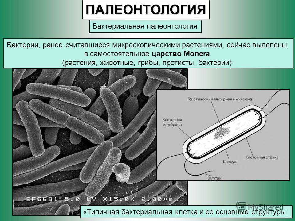 ПАЛЕОНТОЛОГИЯ Бактериальная палеонтология Бактерии, ранее считавшиеся микроскопическими растениями, сейчас выделены в самостоятельное царство Monera (растения, животные, грибы, протисты, бактерии) «Типичная бактериальная клетка и ее основные структур
