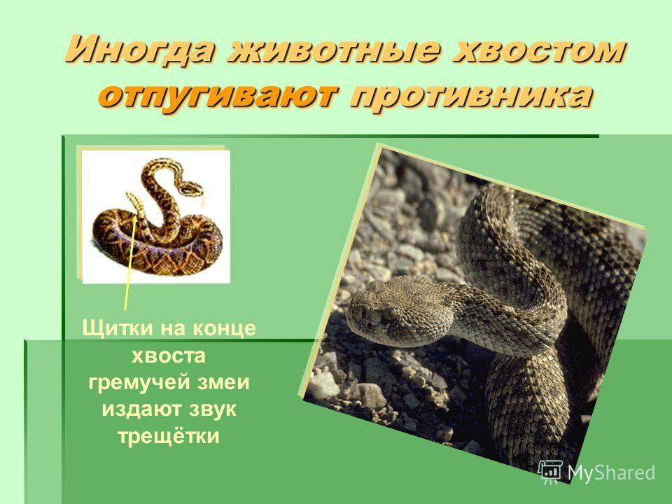 Иногда животные хвостом отпугивают противника Щитки на конце хвоста гремучей змеи издают звук трещётки