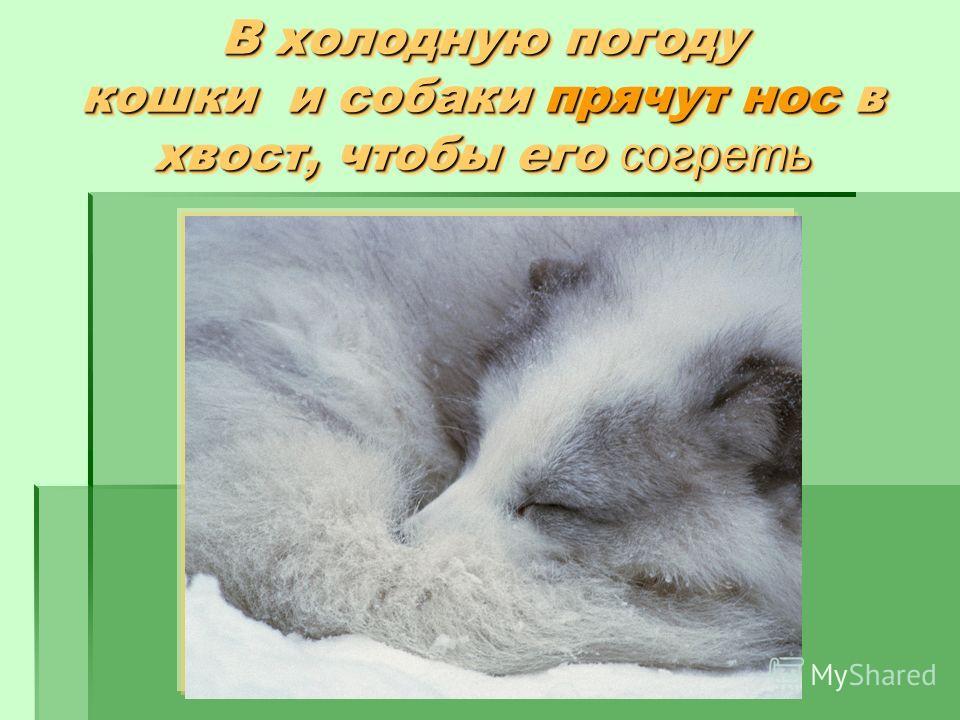 В холодную погоду кошки и собаки прячут нос в хвост, чтобы его согреть