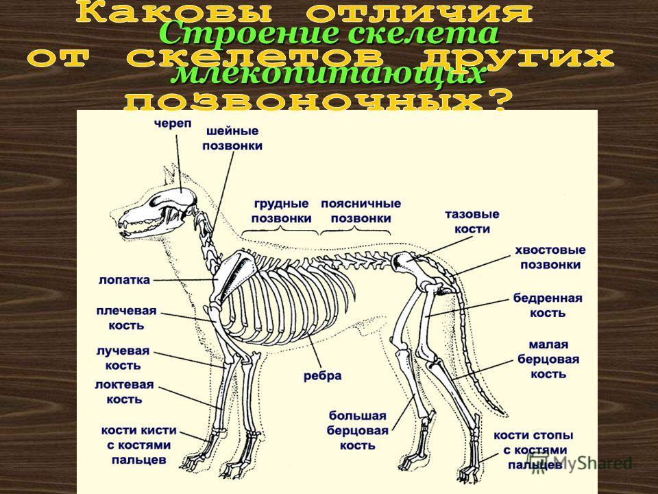 Строение скелета млекопитающих
