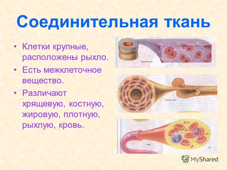 Соединительная ткань клетки крупные