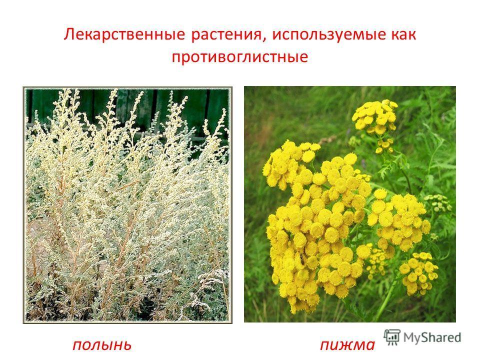 Лекарственные растения, используемые как противоглистные полыньпижма
