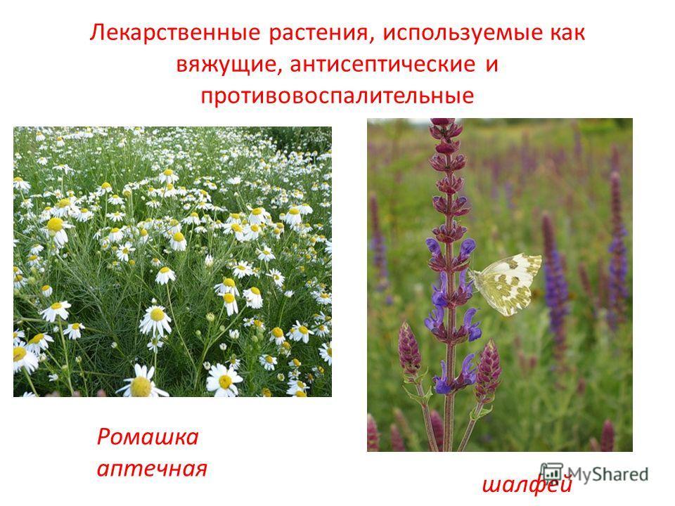 Лекарственные растения, используемые как вяжущие, антисептические и противовоспалительные Ромашка аптечная шалфей