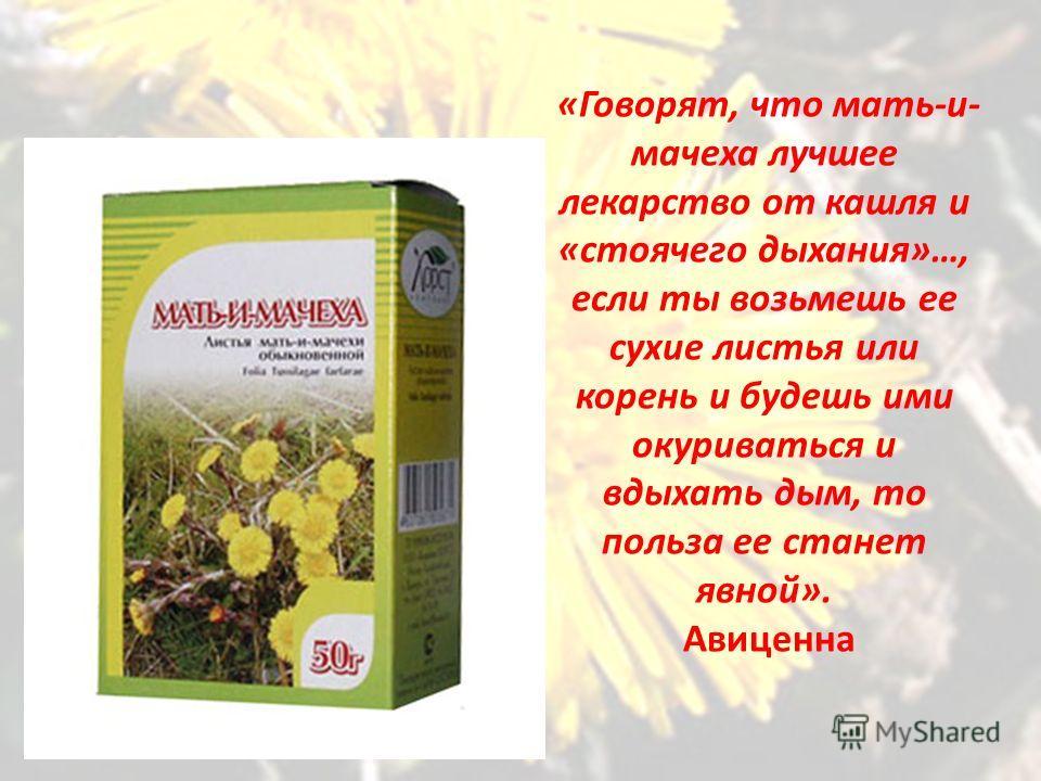 «Говорят, что мать-и- мачеха лучшее лекарство от кашля и «стоячего дыхания»…, если ты возьмешь ее сухие листья или корень и будешь ими окуриваться и вдыхать дым, то польза ее станет явной». Авиценна