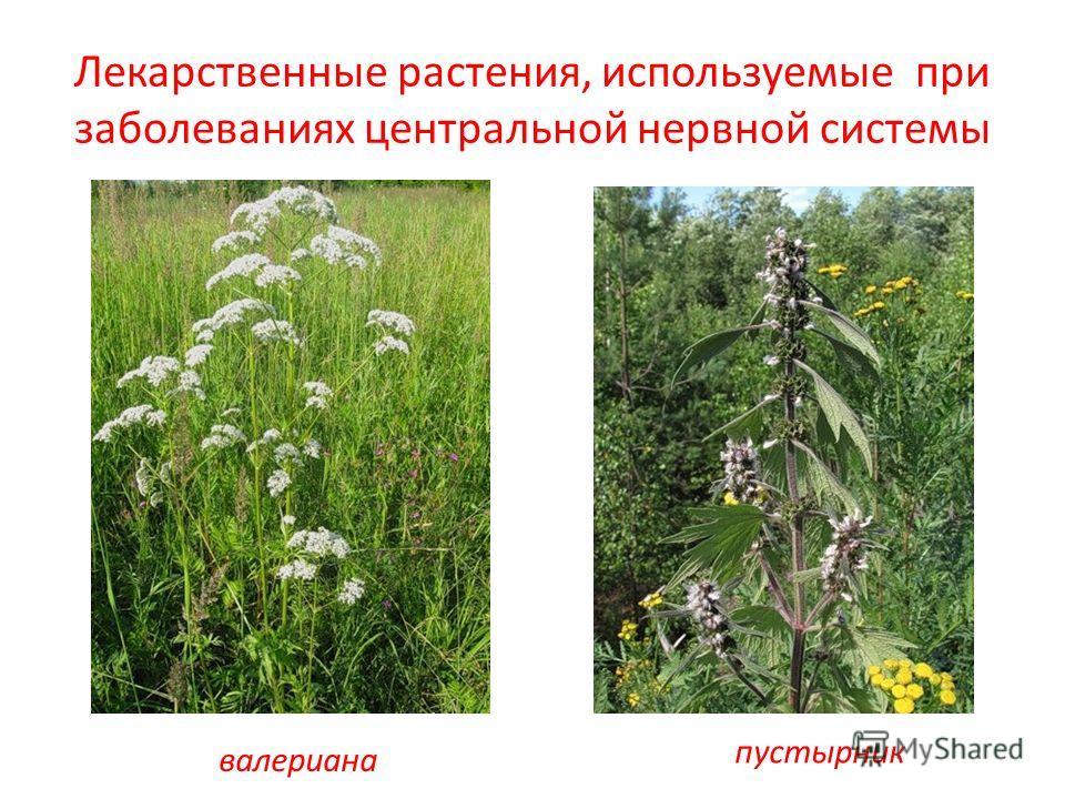 Лекарственные растения, используемые при заболеваниях центральной нервной системы валериана пустырник