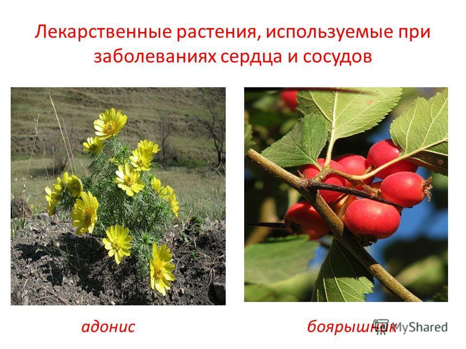 Лекарственные растения, используемые при заболеваниях сердца и сосудов адонисбоярышник