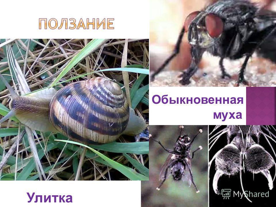 Обыкновенная муха Улитка