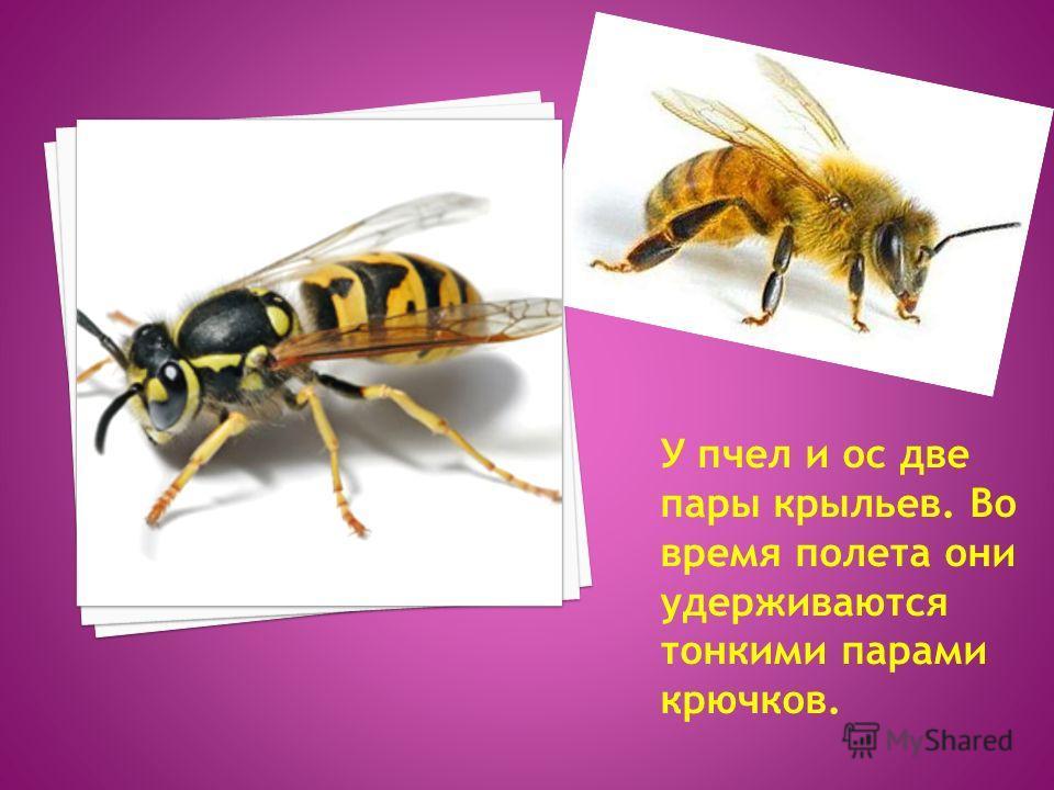 У пчел и ос две пары крыльев. Во время полета они удерживаются тонкими парами крючков.