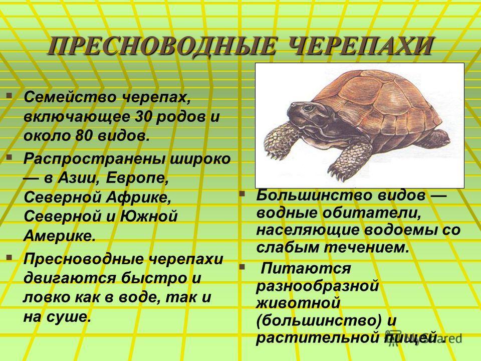 ПРЕСНОВОДНЫЕ ЧЕРЕПАХИ Семейство черепах, включающее 30 родов и около 80 видов. Распространены широко в Азии, Европе, Северной Африке, Северной и Южной Америке. Пресноводные черепахи двигаются быстро и ловко как в воде, так и на суше. Большинство видо