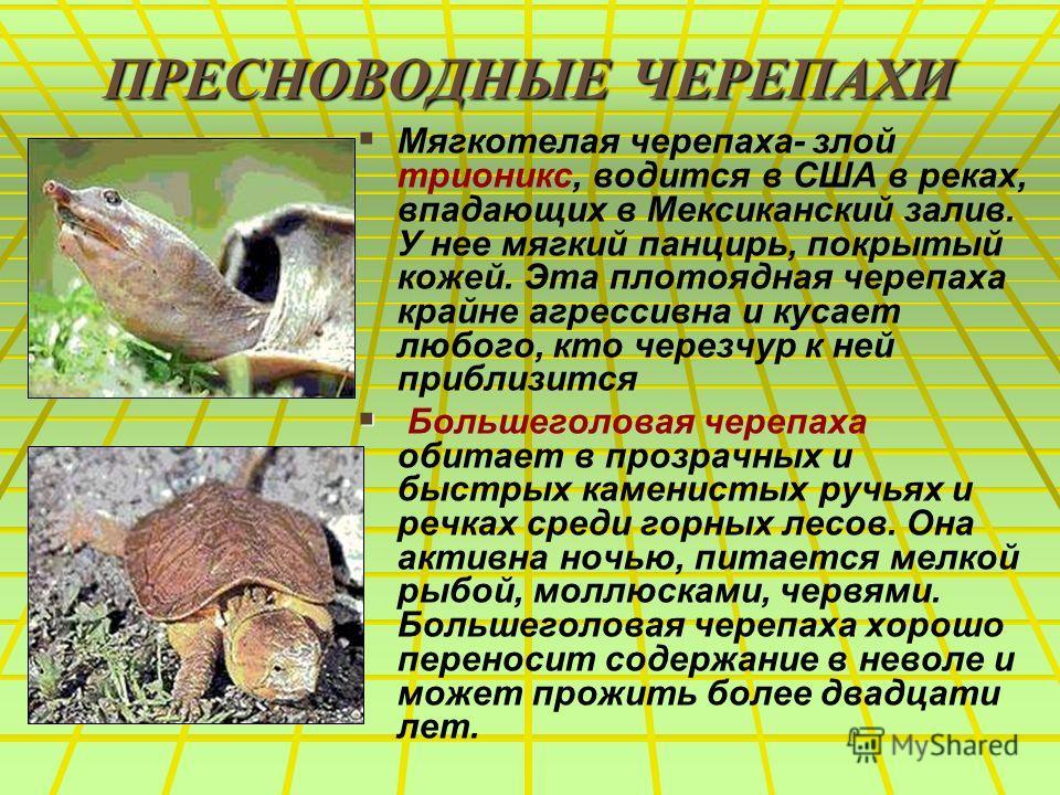 ПРЕСНОВОДНЫЕ ЧЕРЕПАХИ Мягкотелая черепаха- злой трионикс, водится в США в реках, впадающих в Мексиканский залив. У нее мягкий панцирь, покрытый кожей.