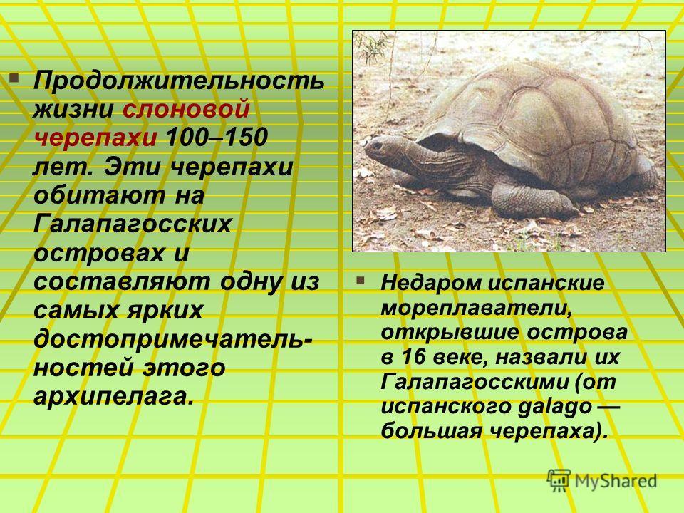 Продолжительность жизни слоновой черепахи 100–150 лет. Эти черепахи обитают на Галапагосских островах и составляют одну из самых ярких достопримечатель- ностей этого архипелага. Недаром испанские мореплаватели, открывшие острова в 16 веке, назвали их