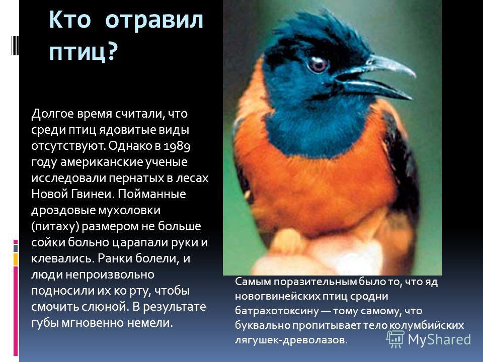 Кто отравил птиц? Долгое время считали, что среди птиц ядовитые виды отсутствуют. Однако в 1989 году американские ученые исследовали пернатых в лесах Новой Гвинеи. Пойманные дроздовые мухоловки (питаху) размером не больше сойки больно царапали руки и