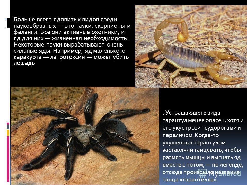 Больше всего ядовитых видов среди паукообразных это пауки, скорпионы и фаланги. Все они активные охотники, и яд для них жизненная необходимость. Некоторые пауки вырабатывают очень сильные яды. Например, яд маленького каракурта латротоксин может убить
