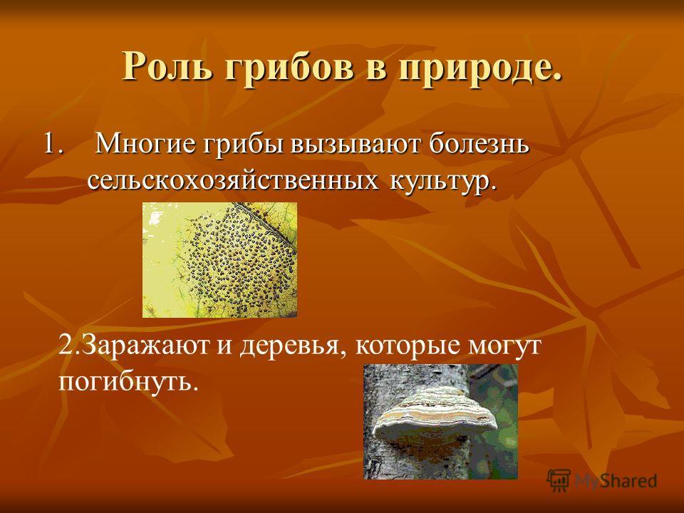 Роль грибов в природе. 1. Многие грибы вызывают болезнь сельскохозяйственных культур. 2.Заражают и деревья, которые могут погибнуть.