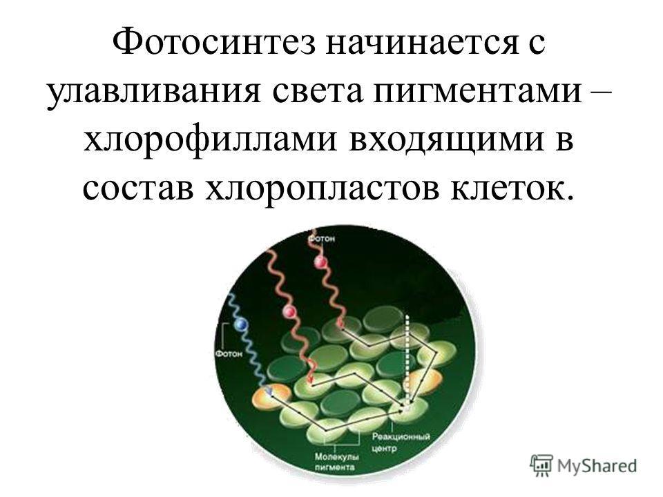 Фотосинтез начинается с улавливания света пигментами – хлорофиллами входящими в состав хлоропластов клеток.