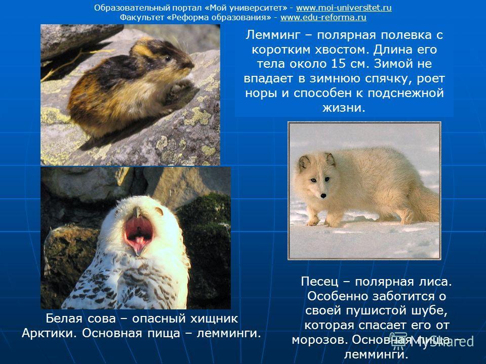 Лемминг – полярная полевка с коротким хвостом. Длина его тела около 15 см. Зимой не впадает в зимнюю спячку, роет норы и способен к подснежной жизни. Белая сова – опасный хищник Арктики. Основная пища – лемминги. Песец – полярная лиса. Особенно забот
