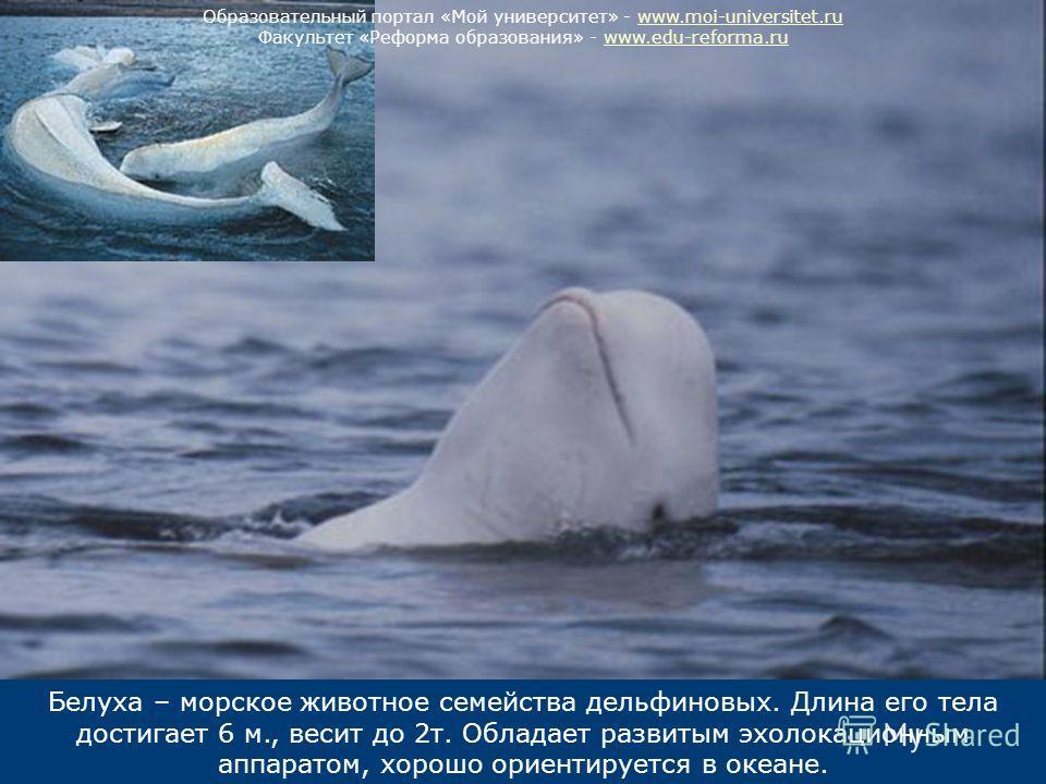 Белуха – морское животное семейства дельфиновых. Длина его тела достигает 6 м., весит до 2т. Обладает развитым эхолокационным аппаратом, хорошо ориентируется в океане. Образовательный портал «Мой университет» - www.moi-universitet.ruwww.moi-universit