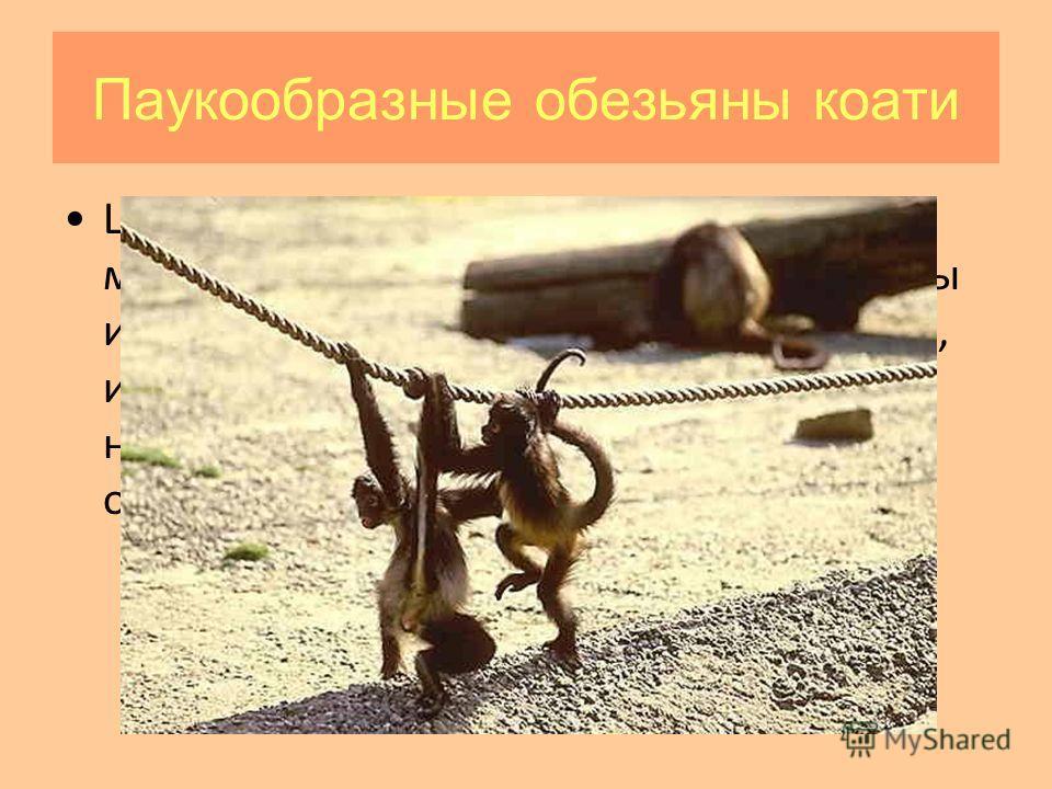 Паукообразные обезьяны коати Широконосые обезьяны (ревуны, мирикины и тити, саки и уакари, капуцины и саймири, коати, тамарины, мармозетки, игрунки) характеризуются широкой носовой перегородкой, при этом ноздри обращены в стороны.