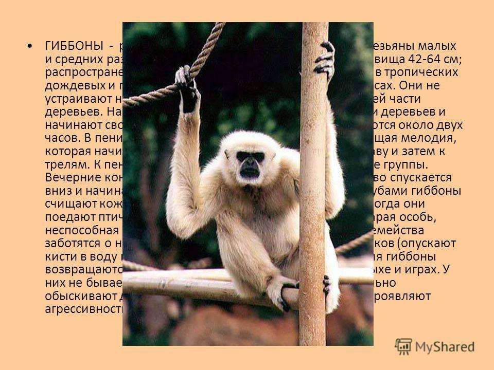 ГИББОНЫ - род обезьян семейства гиббоновых. Это обезьяны малых и средних размеров, массой 4-8 кг; длина головы и туловища 42-64 см; распространены в Юго-Восточной Азии. Гиббоны живут в тропических дождевых и горных (до 2 тысяч м над уровнем моря) лес