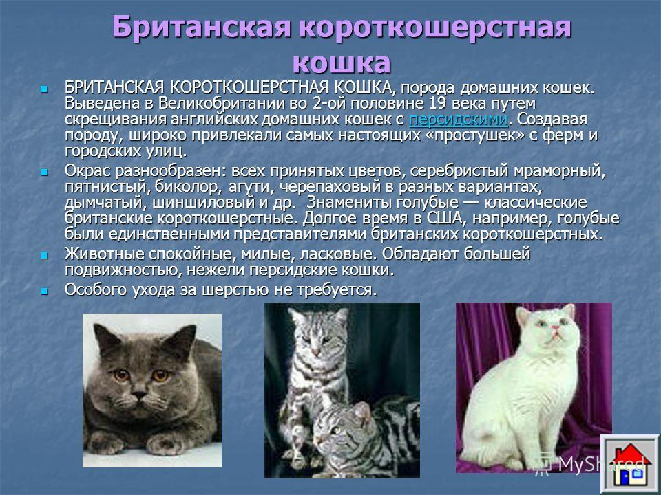 Европейская короткошерстная кошка ЕВРОПЕЙСКАЯ КОРОТКОШЕРСТНАЯ КОШКА, порода короткошерстных кошек. Выведена в результате селекционной работы над обычной европейской кошкой, имеющей целью получить здоровую, красивую кошку. В 1982 году был создан первы