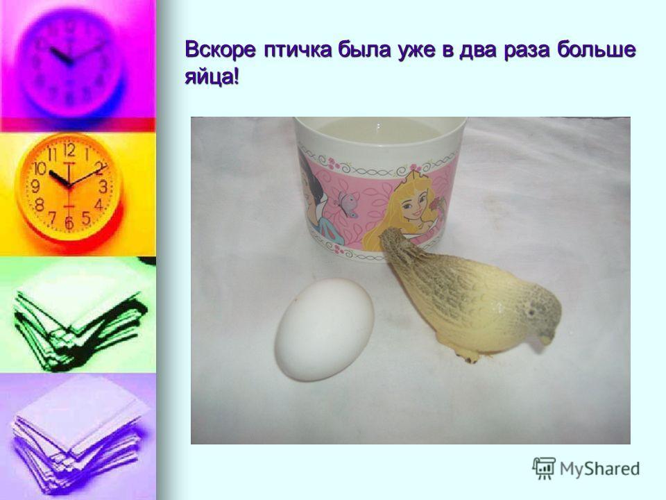 Вскоре птичка была уже в два раза больше яйца!