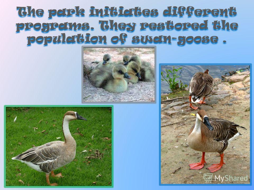 The park initiates different programs. They restored the population of swan-goose.