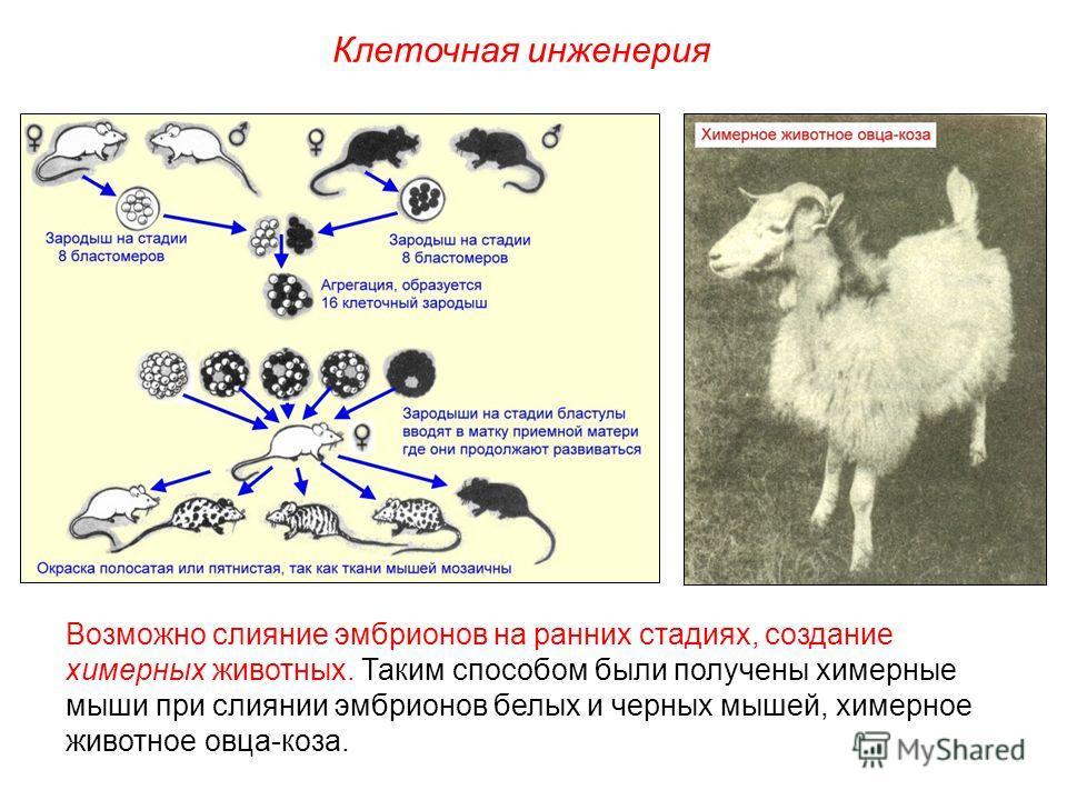 Возможно слияние эмбрионов на ранних стадиях, создание химерных животных. Таким способом были получены химерные мыши при слиянии эмбрионов белых и черных мышей, химерное животное овца-коза. Клеточная инженерия