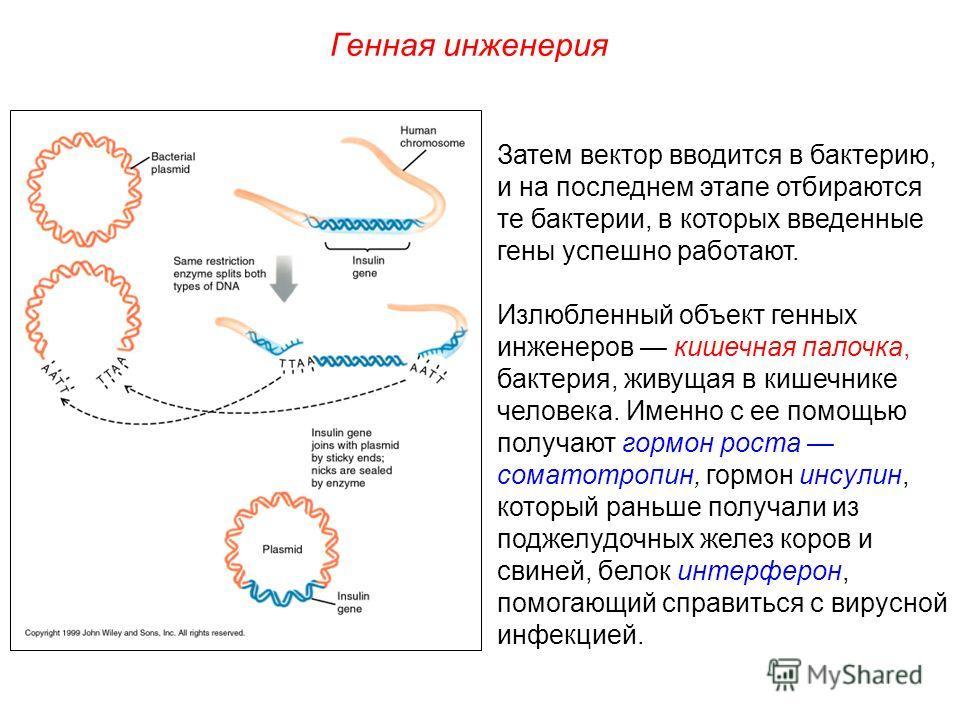 Затем вектор вводится в бактерию, и на последнем этапе отбираются те бактерии, в которых введенные гены успешно работают. Излюбленный объект генных инженеров кишечная палочка, бактерия, живущая в кишечнике человека. Именно с ее помощью получают гормо