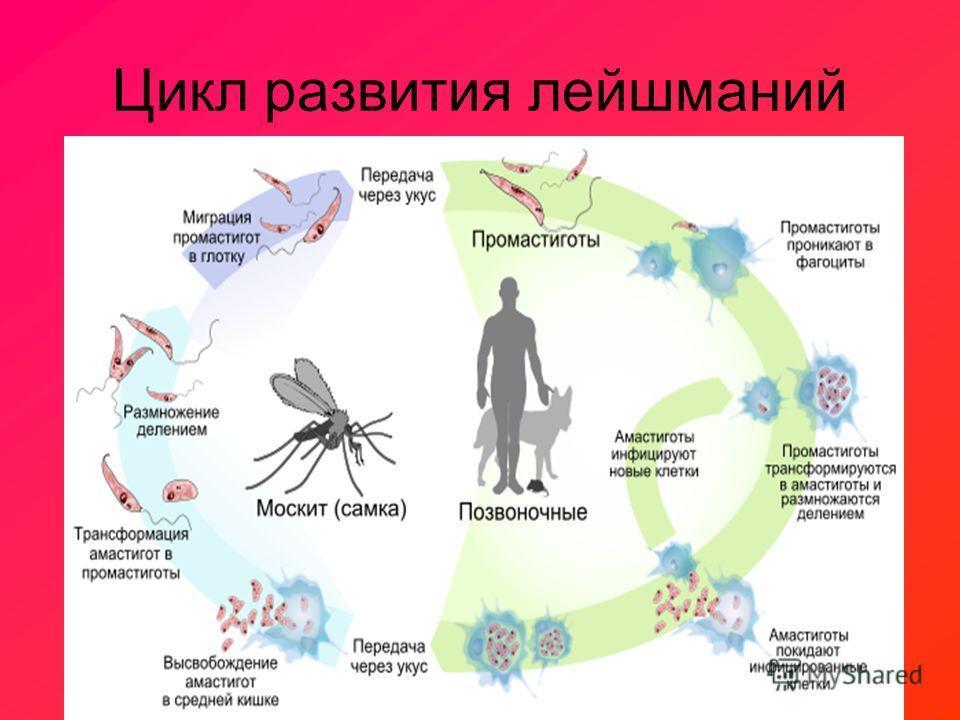 Цикл развития лейшманий