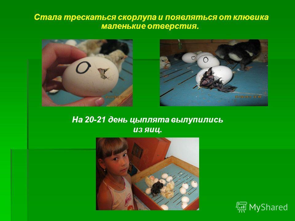 Стала трескаться скорлупа и появляться от клювика маленькие отверстия. На 20-21 день цыплята вылупились из яиц.