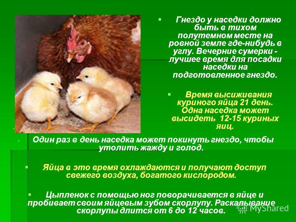 Гнездо у наседки должно быть в тихом полутемном месте на ровной земле где-нибудь в углу. Вечерние сумерки - лучшее время для посадки наседки на подготовленное гнездо. Время высиживания куриного яйца 21 день. Одна наседка может высидеть 12-15 куриных