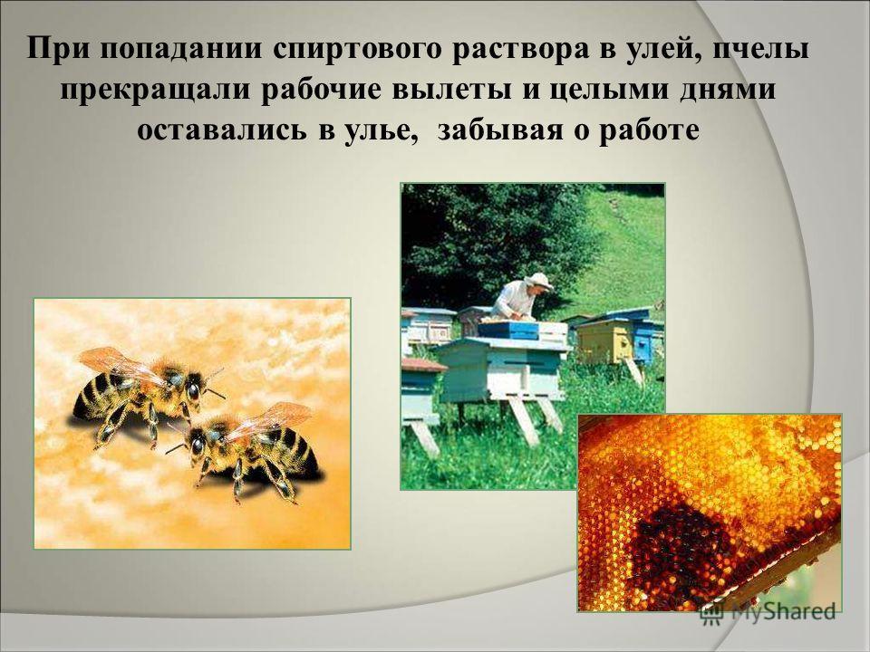 При попадании спиртового раствора в улей, пчелы прекращали рабочие вылеты и целыми днями оставались в улье, забывая о работе
