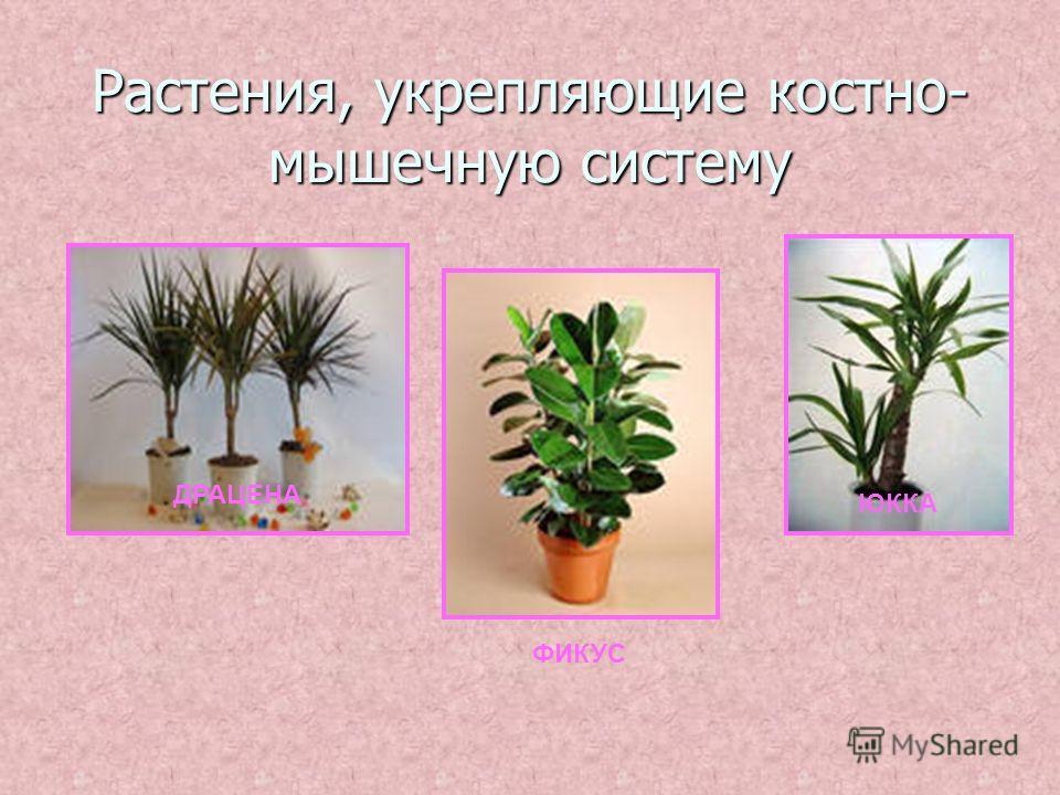 Растения, укрепляющие костно- мышечную систему ДРАЦЕНА ФИКУС ЮККА