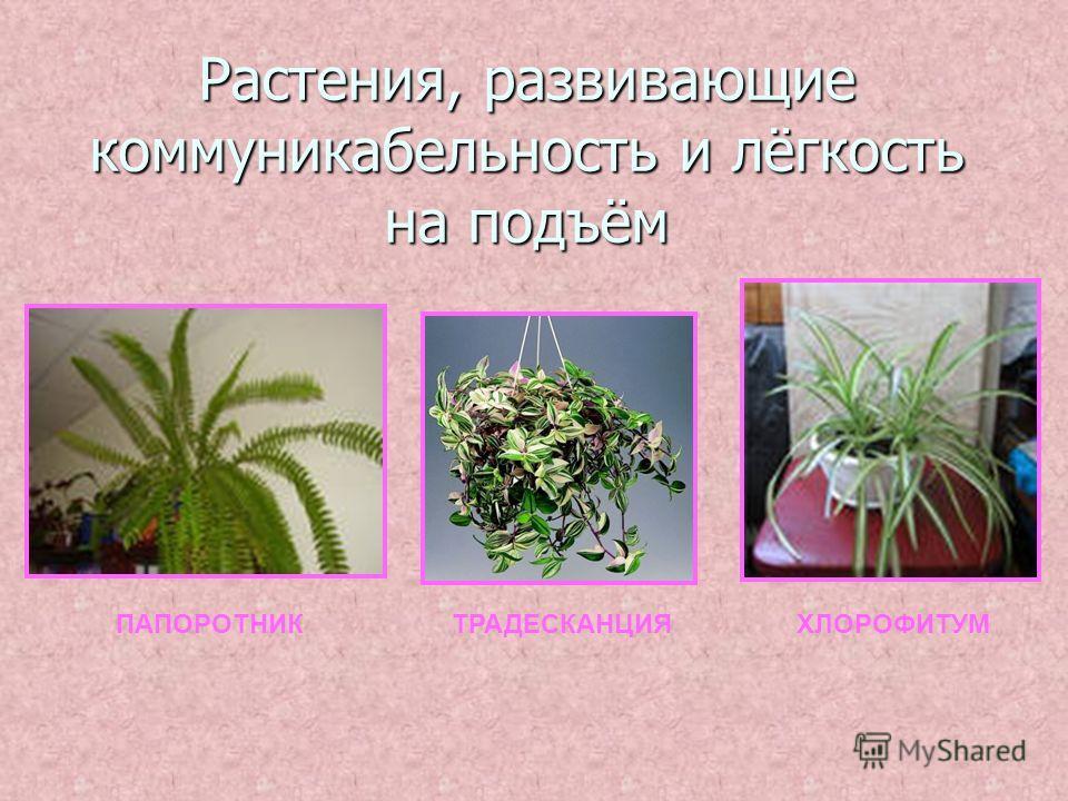 Растения, развивающие коммуникабельность и лёгкость на подъём ПАПОРОТНИКТРАДЕСКАНЦИЯХЛОРОФИТУМ