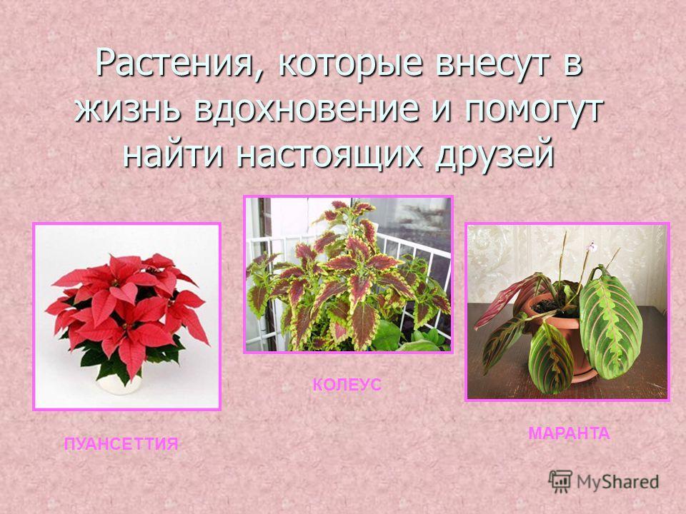 Растения, которые внесут в жизнь вдохновение и помогут найти настоящих друзей ПУАНСЕТТИЯ КОЛЕУС МАРАНТА