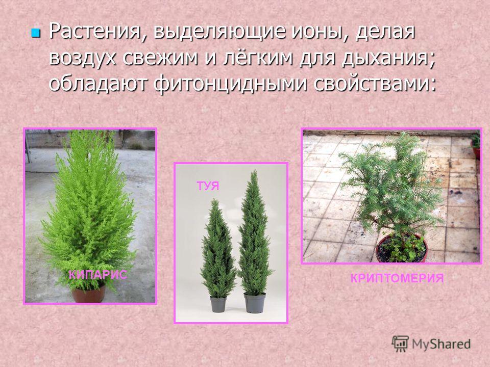 Растения, выделяющие ионы, делая воздух свежим и лёгким для дыхания; обладают фитонцидными свойствами: КИПАРИС ТУЯ КРИПТОМЕРИЯ